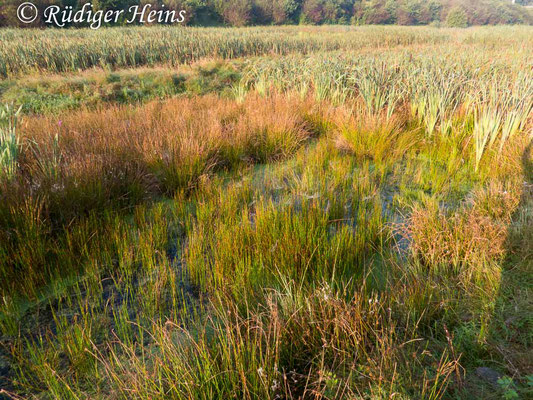 Ceriagrion tenellum (Scharlachlibelle) Fortpflanzungsgewässer, 5.9.2017