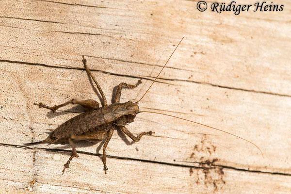 Pholidoptera griseoaptera (Gemeine Strauchschrecke) Weibchen, 30.9.2020