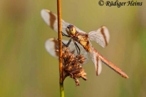 Sympetrum pedemontanum (Gebänderte Heidelibelle) Weibchen, 16.8.2009