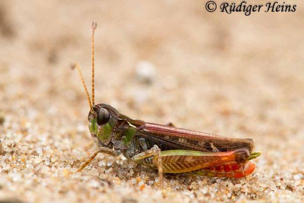 Myrmeleotettix maculatus (Gefleckte Keulenschrecke) Männchen, 15.8.2018