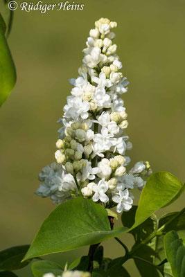 Syringa vulgaris (Gemeiner Flieder), 9.5.2020