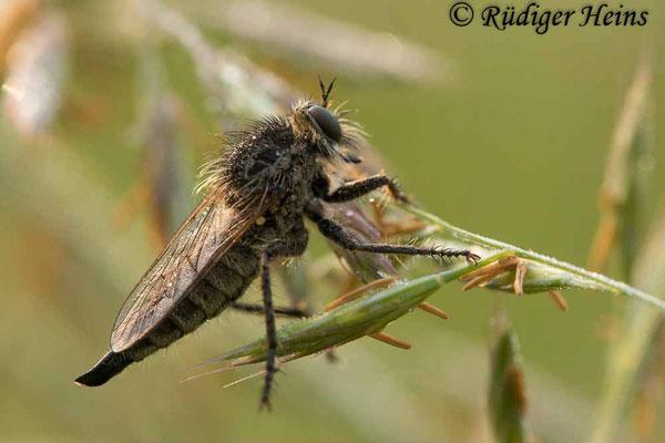 Dysmachus trigonus (Säbel-Raubfliege) Weibchen, 10.6.2021