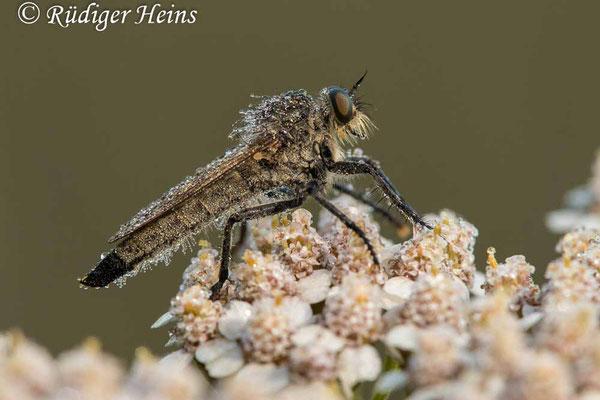 Eutolmus rufibarbis (Barbarossa-Fliege) Weibchen,  3.8.2020