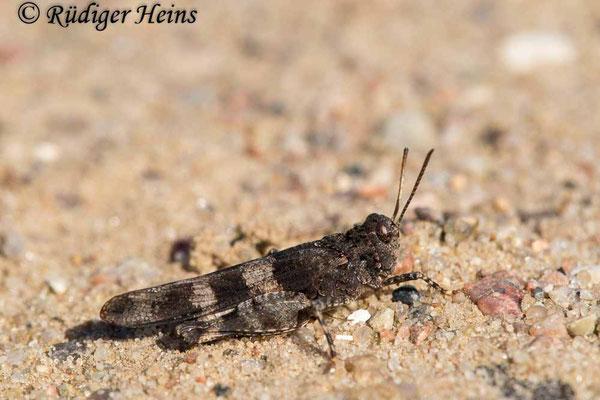 Oedipoda caerulescens (Blauflügelige Ödlandschrecke) Männchen, 30.8.2020
