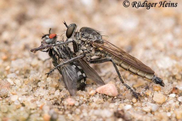 Philonicus albiceps (Sand-Raubfliege) Männchen, 21.8.2021