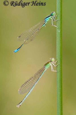 Ischnura pumilio (Kleine Pechlibelle) Männchen und Weibchen, 10.6.2011