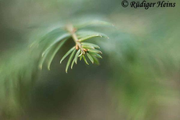 Europäische Eibe (Taxus baccata), 19.3.2021 - Helios 44-2 58mm f/2