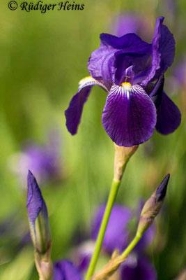 Iris germanica (Deutsche Schwertlilie), 7.5.2016