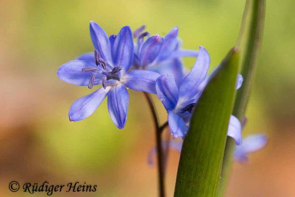 Scilla bifolia (Zweiblättrige Blaustern), 31.3.2021