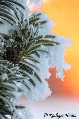 Europäische Eibe (Taxus baccata) mit Schnee, 31.1.2021 - Makroobjektiv 100mm f/2,8
