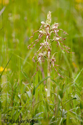 Himantoglossum hircinum (Bocks-Riemenzunge), 18.5.2012