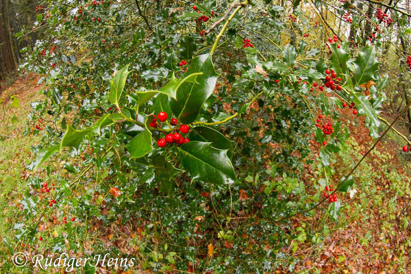 Ilex aquifolium (Europäische Stechpalme), 2.11.2019