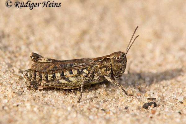 Myrmeleotettix maculatus (Gefleckte Keulenschrecke) Weibchen, 12.10.2017