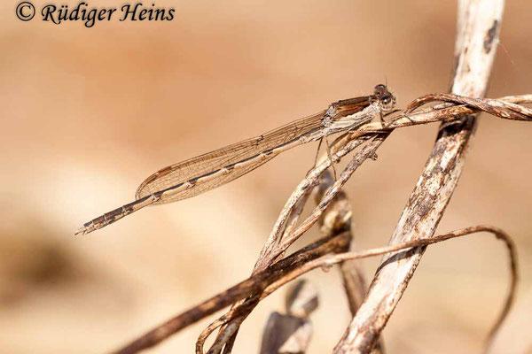 Sympecma fusca (Gemeine Winterlibelle) Männchen am Gewässerrand, 9.4.2020