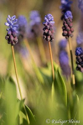 Muscari latifolium (Breitblättrige Traubenhyazinthe), 18.4.2021