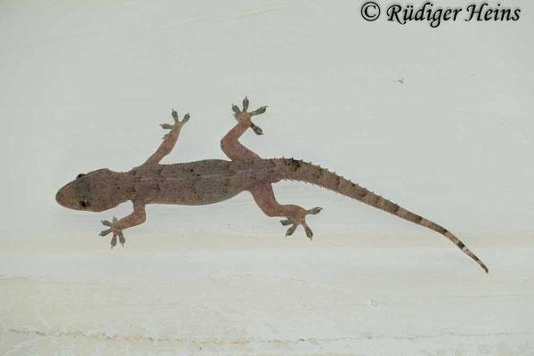 Hemidactylus mabouia, 25.01.2019