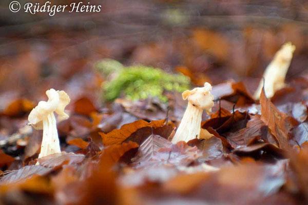 Helvella crispa (Herbst-Lorchel), 19.12.2020