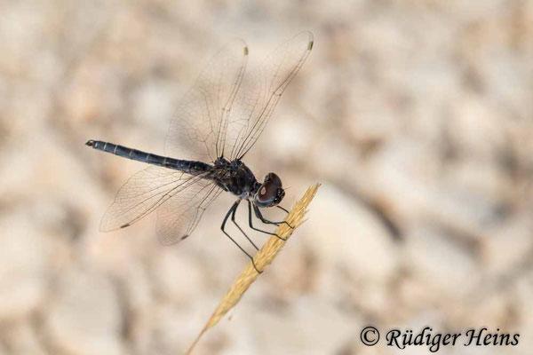 Selysiothemis nigra (Teufelchen, Schwarzer Baron) Männchen, 28.6.2021