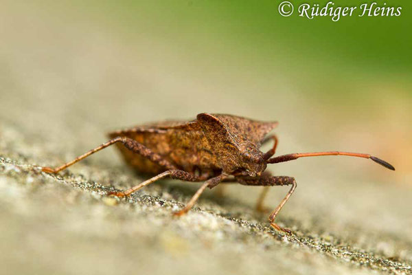 Coreus marginatus (Lederwanze), 26.4.2019