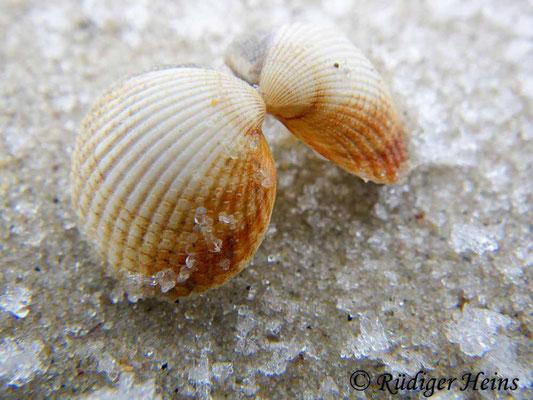 Cerastoderma sp. (Herzmuschel), 31.1.2011