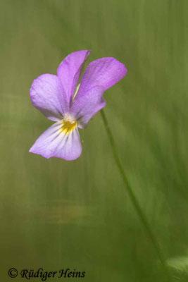 Viola tricolor (Wildes Stiefmütterchen), 20.5.2020