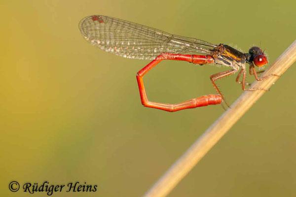 Ceriagrion tenellum (Scharlachlibelle) Männchen, 2.8.2009
