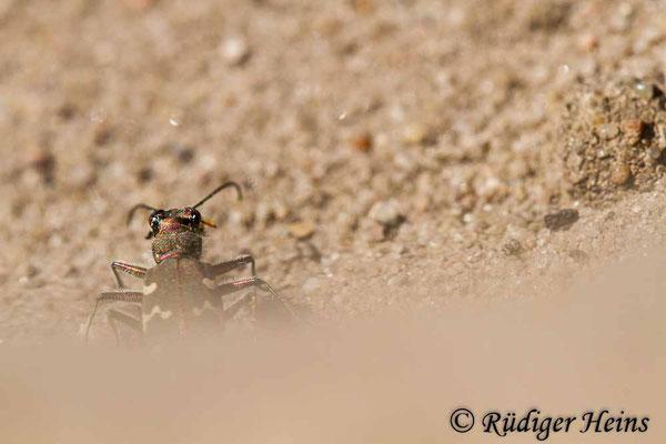 Cicindela hybrida (Dünen-Sandlaufkäfer), 12.8.2020