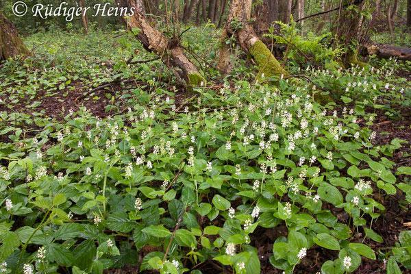 Maianthemum bifolium (Zweiblättrige Schattenblume), 25.5.2006