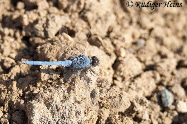 Orthetrum taeniolatum (Zierlicher Blaupfeil) Männchen, 27.10.2007