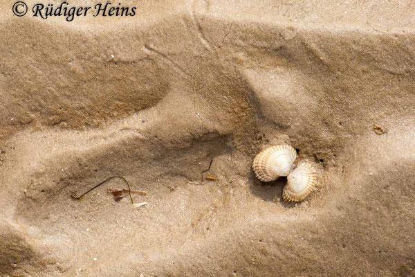 Cerastoderma sp. (Herzmuschel), 13.4.2009