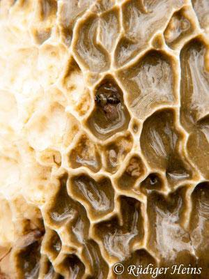 Phallus impudicus (Stinkmorchel), 14.10.2010