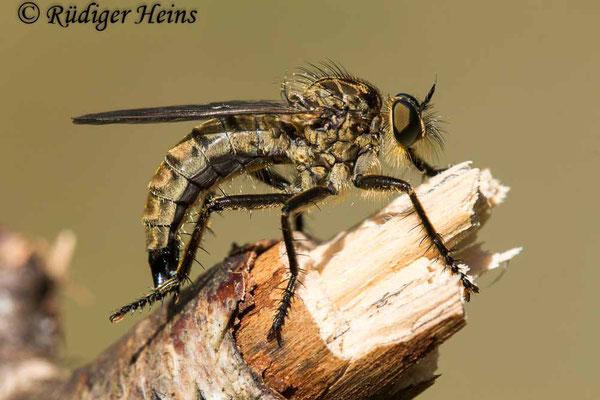 Eutolmus rufibarbis (Barbarossa-Fliege) Weibchen,  20.7.2020