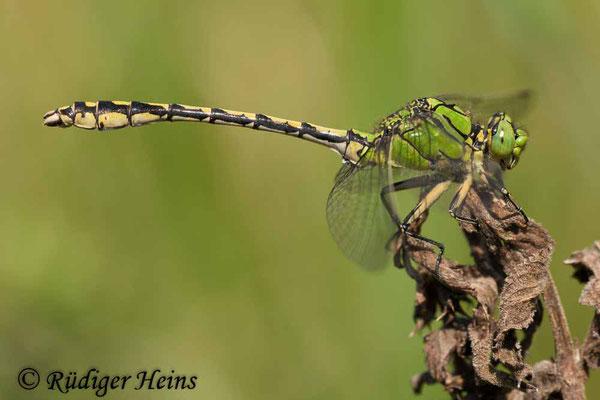 Ophiogomphus cecilia (Grüne Flussjungfer) Männchen, 5.8.2009