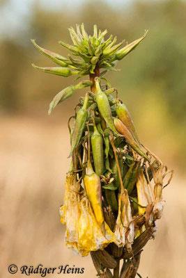 Oenothera grandiflora (Großblütige Nachtkerze), 4.11.2012