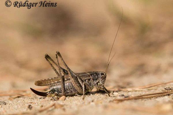 Platycleis albopunctata (Westliche Beißschrecke) Weibchen, 17.9.2020