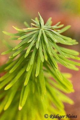Euphorbia cyparissias (Zypressen-Wolfsmilch), 20.11.2014