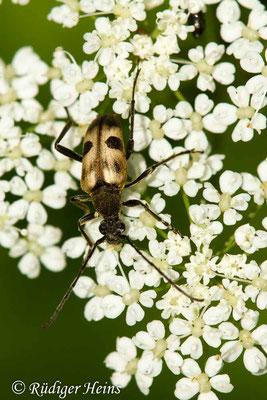 Pachytodes cerambyciformis (Gefleckter Blütenbock), 14.6.2019