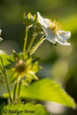Fragaria vesca (Wald-Erdbeere), 8.5.2016