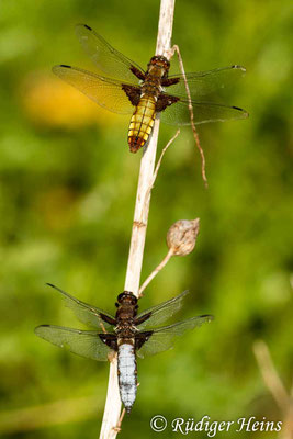 Libellula depressa (Plattbauch) Weibchen und Männchen, 12.7.2013