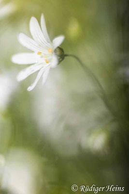 Stellaria holostea (Große Sternmiere), 23.5.2021