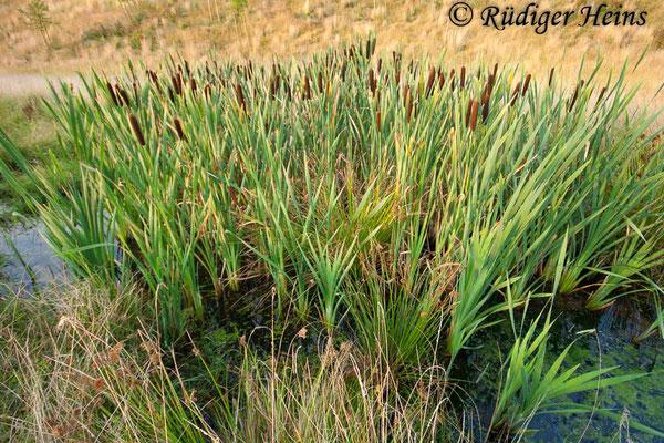 Typha latifolia (Breitblättriger Rohrkolben), 26.7.2008
