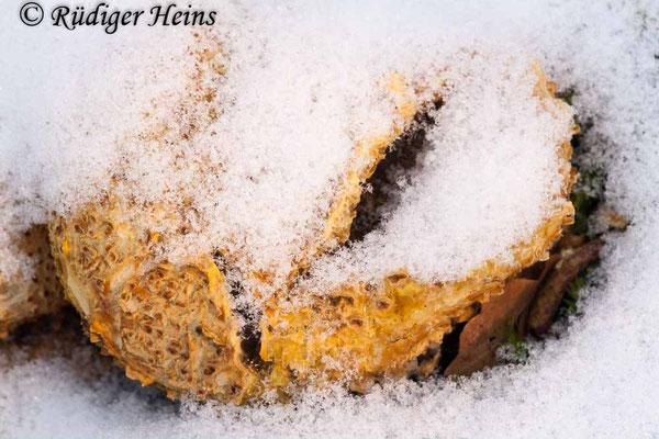 Scleroderma citrinum (Kartoffelbovist), 28.1.2012