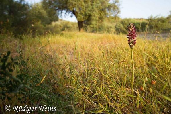 Anacamptis fragans (Wohlriechendes Knabenkraut) im Habitat, 17.5.2015