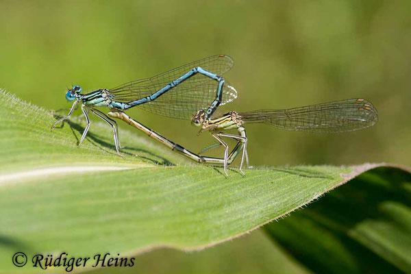 Platycnemis pennipes (Blaue Federlibelle) Paarung, 26.7.2008