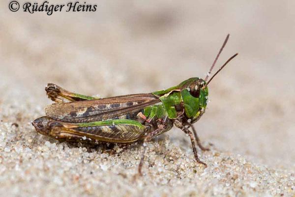 Myrmeleotettix maculatus (Gefleckte Keulenschrecke) Weibchen, 18.9.2017