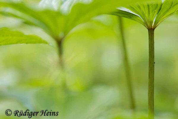 Paris quadrifolia (Vierblättrige Einbeere) Stängel, 16.5.2021 - Telezoom 150-600mm f/5-6,3