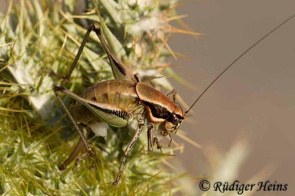 Eupholidoptera smyrnensis Weibchen, 18.5.2015