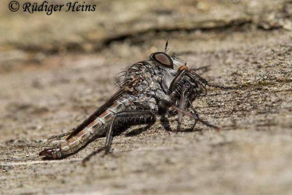 Tolmerus pyragra (Kleine Raubfliege) Männchen, 23.8.2021