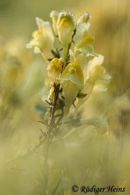 Linaria vulgaris (Echtes Leinkraut), 12.9.2020