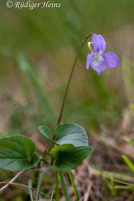 Viola canina (Hunds-Veilchen), 4.6.2006